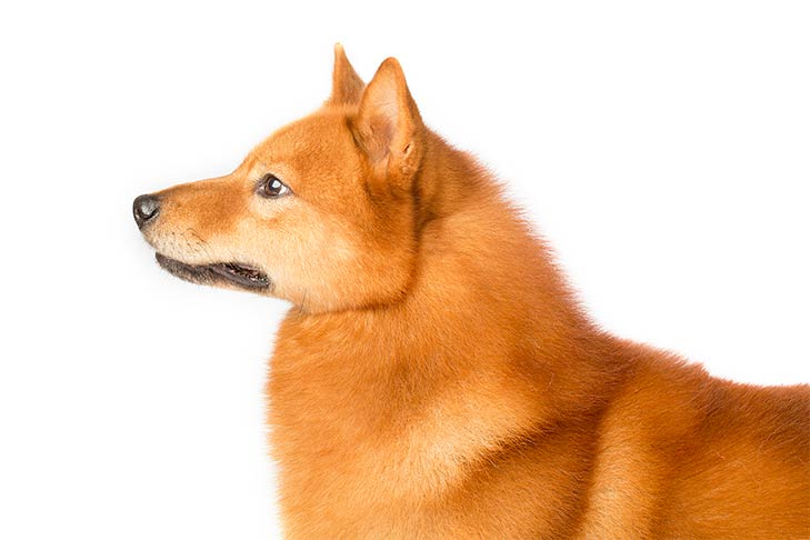 Finnish Spitz head facing left