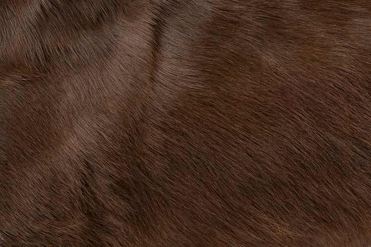 Field Spaniel coat detail