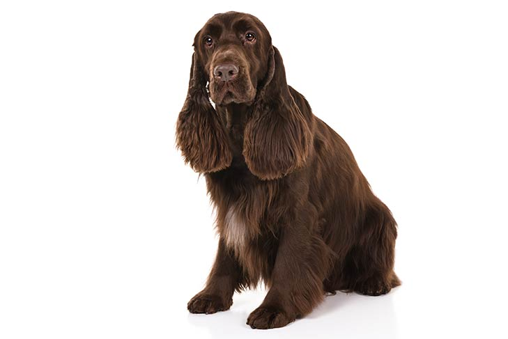 Field Spaniel sitting in three-quarter view