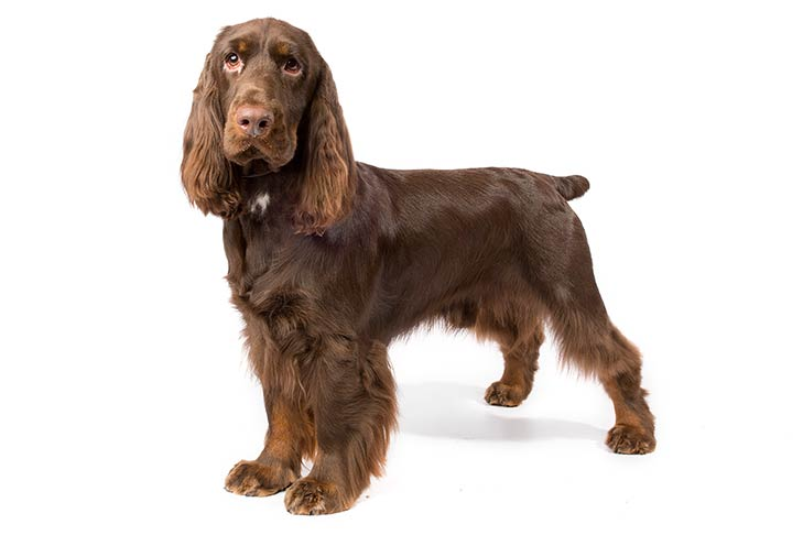 Field Spaniel standing in three-quarter view