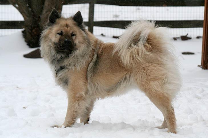 Eurasier Dog Breed Information American Kennel Club