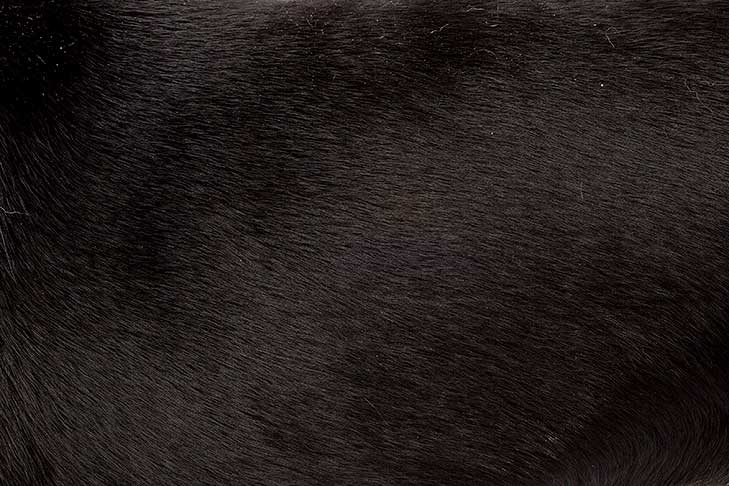 Entlebucher Mountain Dog coat detail