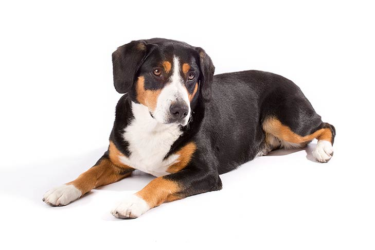 Entlebucher Mountain Dog lying in three-quarter view facing left, head turned right