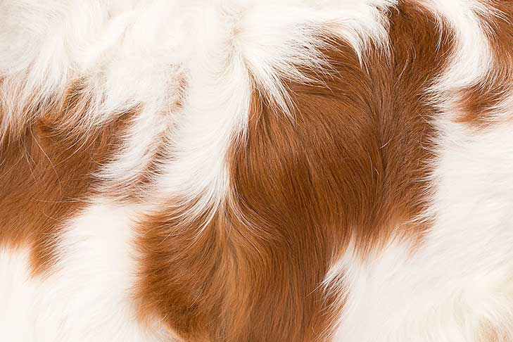 English Toy Spaniel coat detail