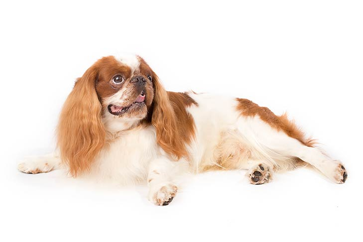 English Toy Spaniel lying sideways on its side, head turned right