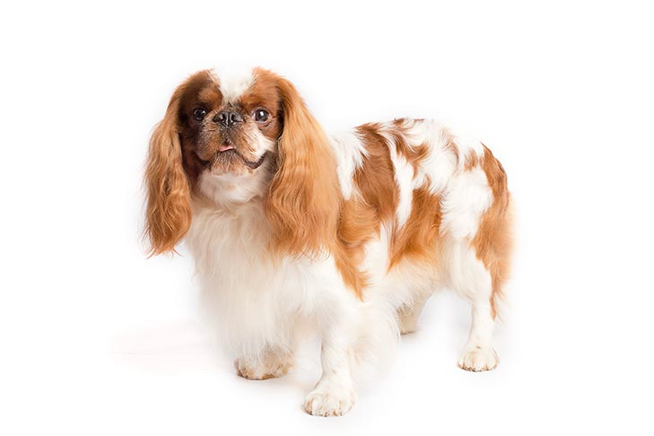 English Toy Spaniel standing in three-quarter view facing forward
