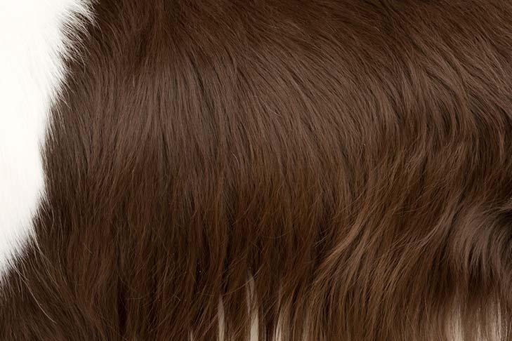 English Springer Spaniel coat detail
