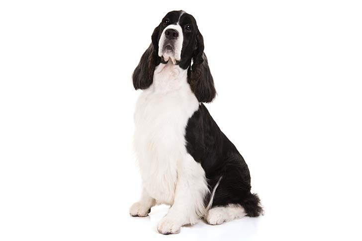 English Springer Spaniel sitting in three-quarter view