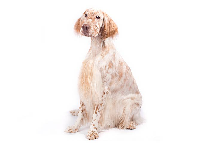 English Setter sitting in three-quarter view