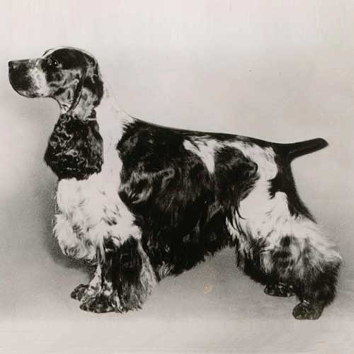cocker spaniel origin english cocker spaniel dog breed information 1233