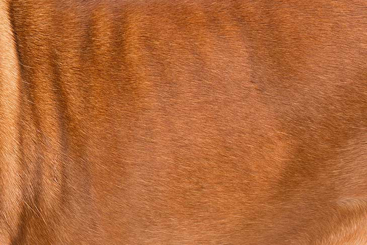 Dogue de Bordeaux coat detail