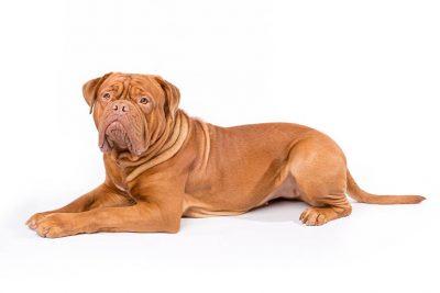 Neapolitan Mastiff Dog Breed Information