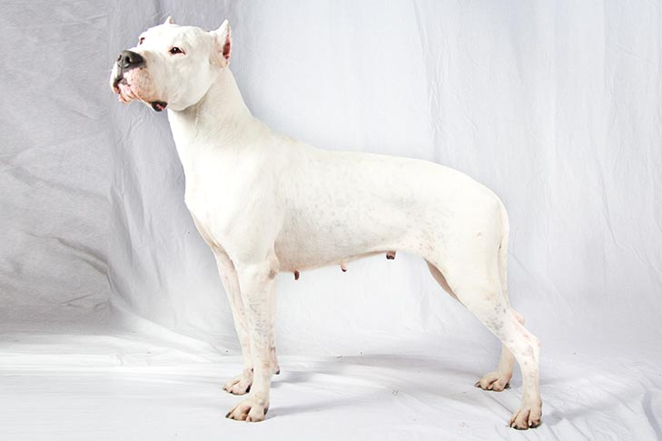 Dogo Argentino standing sideways facing left