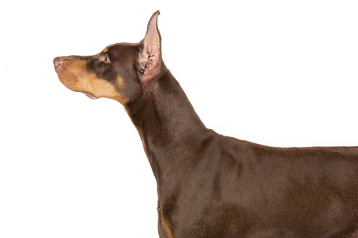 Doberman Pinscher head and shoulders facing left
