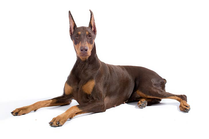 Doberman Pinscher Dog Breed Information