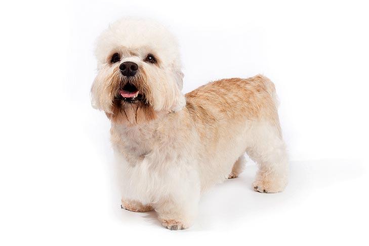 Dandie Dinmont Terrier standing in three-quarter view
