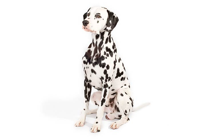 Dalmatian sitting in three-quarter view