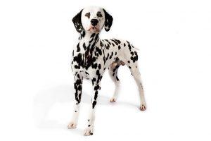 Dalmatian standing in three-quarter view facing forward