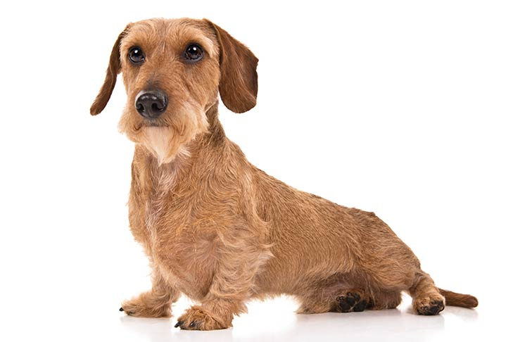 Dachshund Dog Breed Information