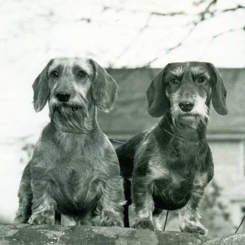 Dachshund Dog Breed In...