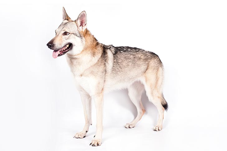 Czechoslovakian Vlcak Dog Breed Information - American
