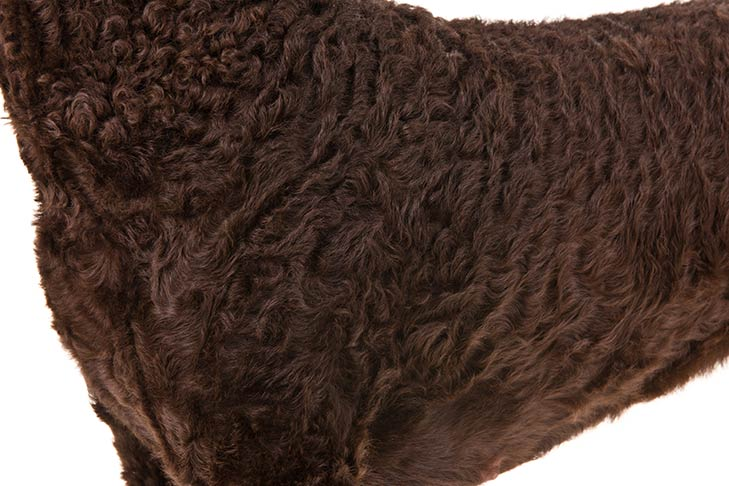 Curly-Coated Retriever coat detail