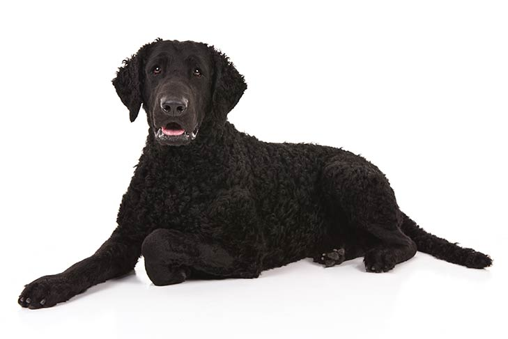 Curly-Coated Retriever lying in three-quarter view facing forward