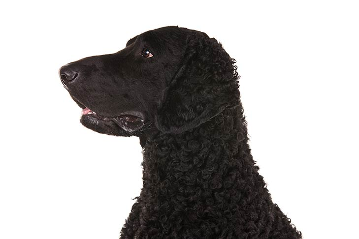 Curly-Coated Retriever head facing left