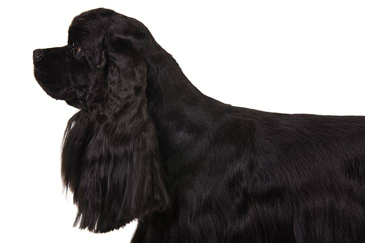 Cocker Spaniel head facing left