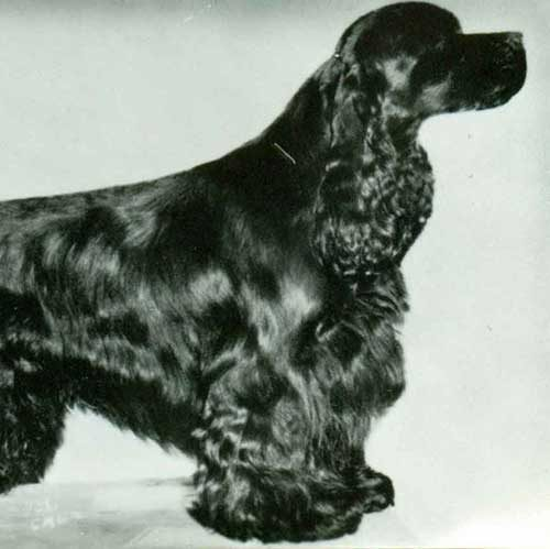 cocker spaniel origin cocker spaniel dog breed information 7427