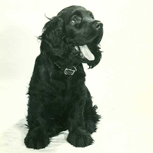 cocker spaniel origin cocker spaniel dog breed information 4336