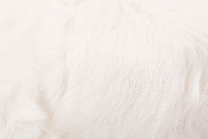 Clumber Spaniel coat detail