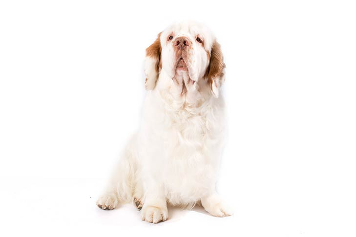 Clumber Spaniel sitting facing forward
