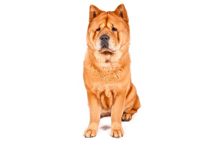 Chow Chow on dog bone