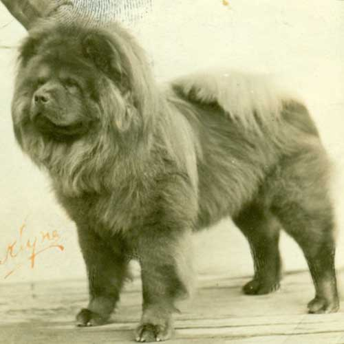 chow chow dog breed information