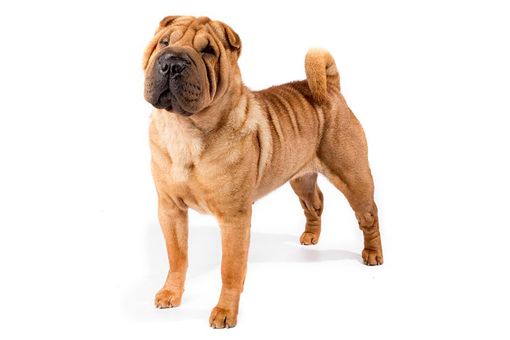 Chinese Shar-Pei standing in three-quarter view