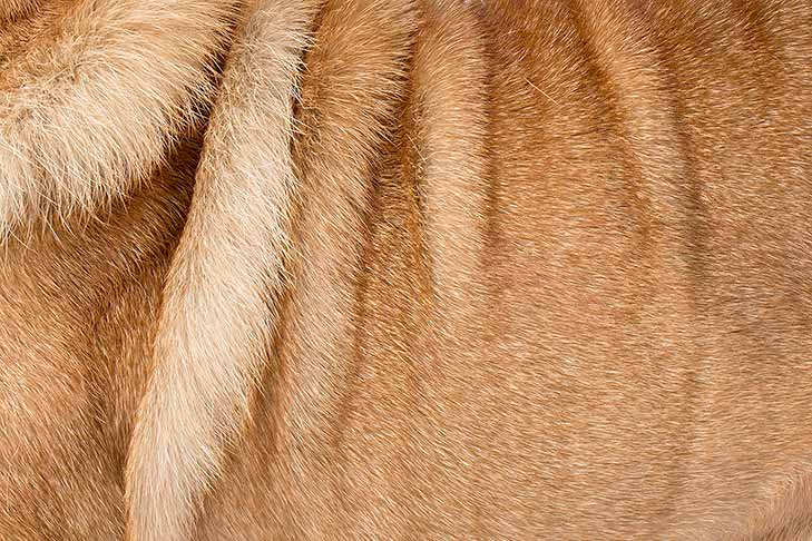Chinese Shar-Pei coat detail