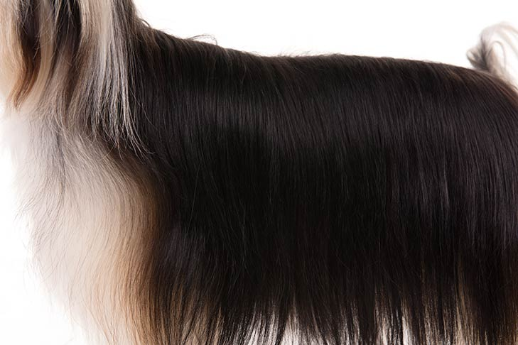 Coated Chinese Crested coat detail