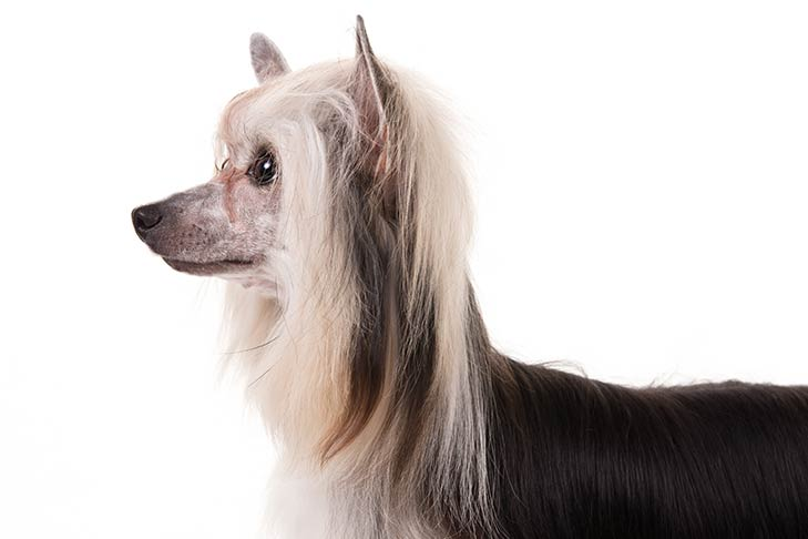 Chinese Crested head facing left
