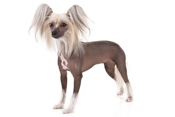 Chinese Crested standing in three-quarter view