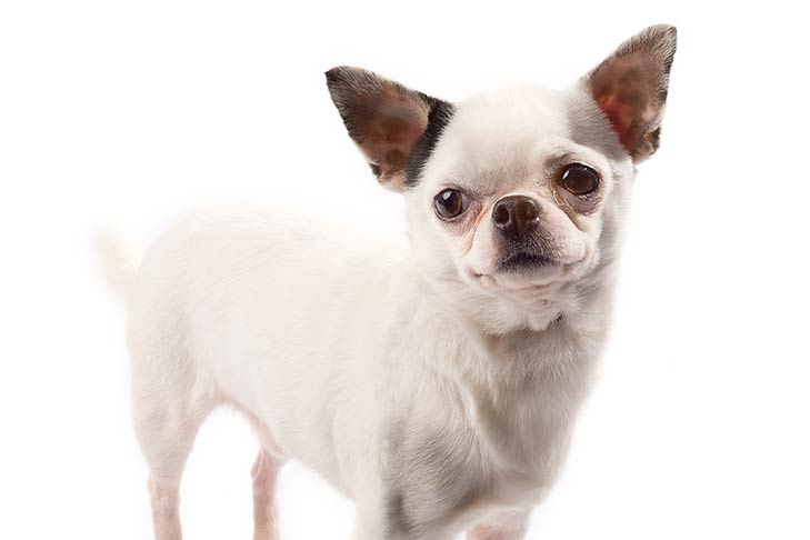 Chihuahua standing in three-quarter view facing forward