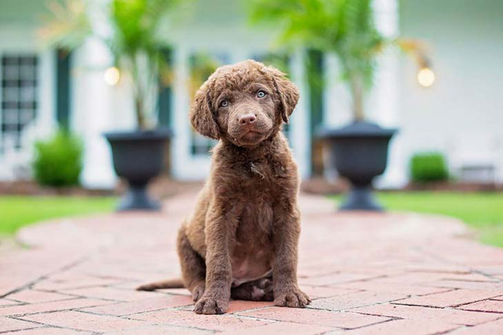 Chesapeake Bay Retriever puppy sitting outdoors.