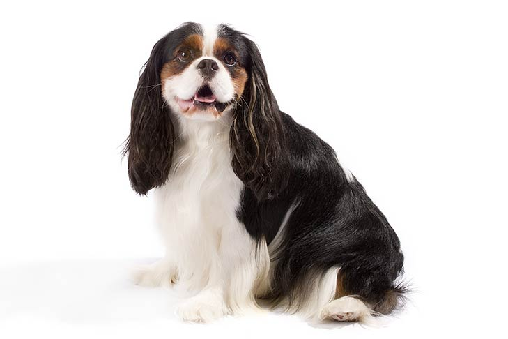 Cavalier king charles spaniel dog breed information cavalier king charles spaniel sitting facing left head turned forward thecheapjerseys Images