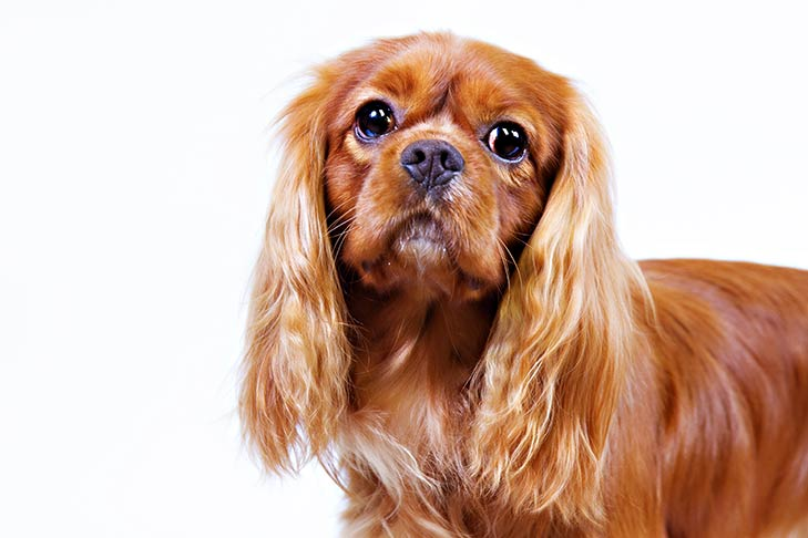 Ruby-coated Cavalier King Charles Spaniel head facing forward