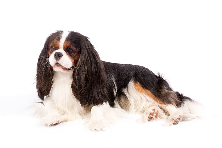 Cavalier king charles spaniel dog breed information cavalier king charles spaniel lying on its side in three quarter view thecheapjerseys Images