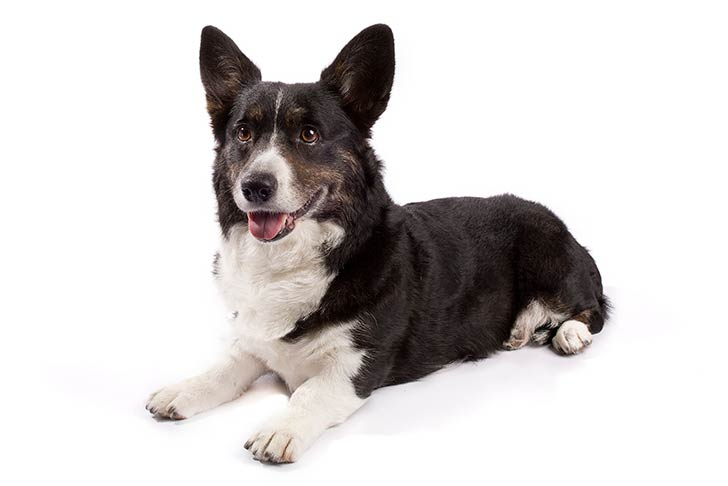 Cardigan Welsh Corgi lying in three-quarter view