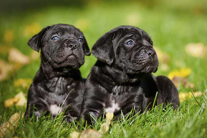 cane corso dog breed information