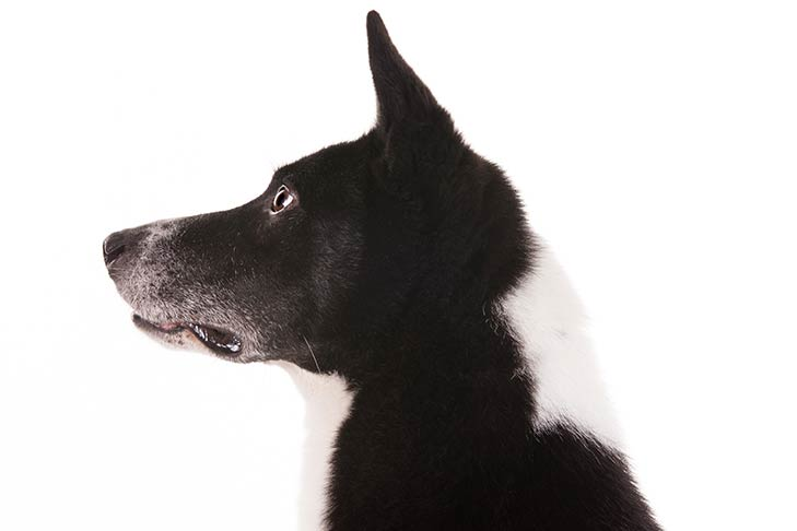 Canaan Dog head facing left