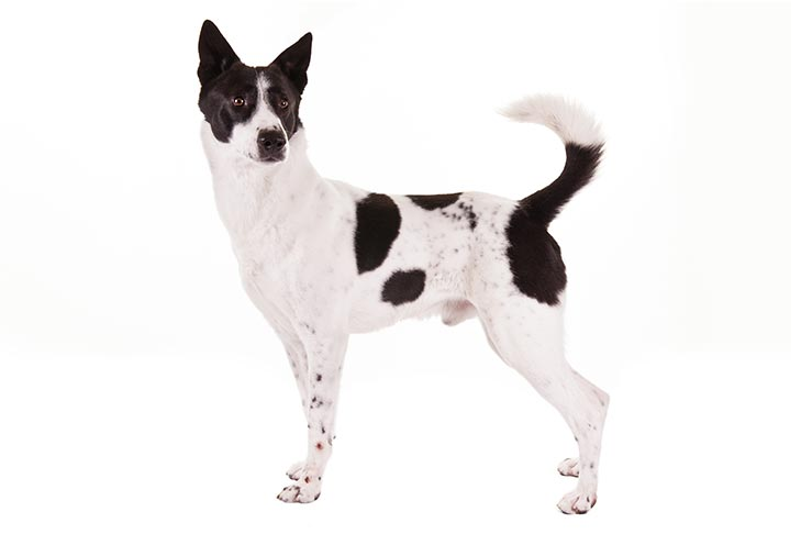 Canaan Dog standing sideways facing left, head turned right