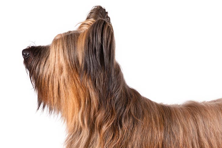 Briard head facing left